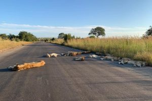 Львы в парке ПАР из-за коронавируса.